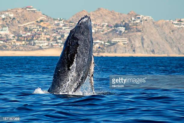 Humpback whale rising from the sea