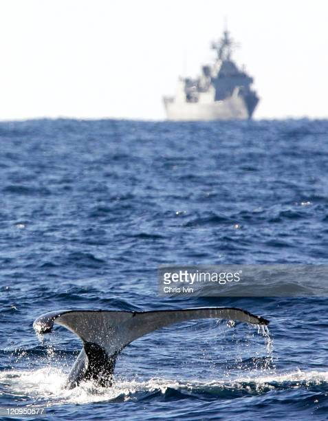 Humpback whale seen off Point Perpindular NSW Humpback whales feed in Antartica from November to May then they migrate along the east coast of...