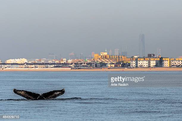 Humpback whale shows its fluke off Rockaway Beach with One World Trade Center in the background Octoebr 3, 2013 in the Rockaway Beach neighborhood of...