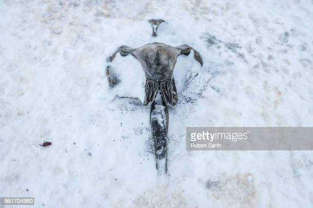 humpback whale skull buried in the ice in antarctica - animal bones stock photos and pictures