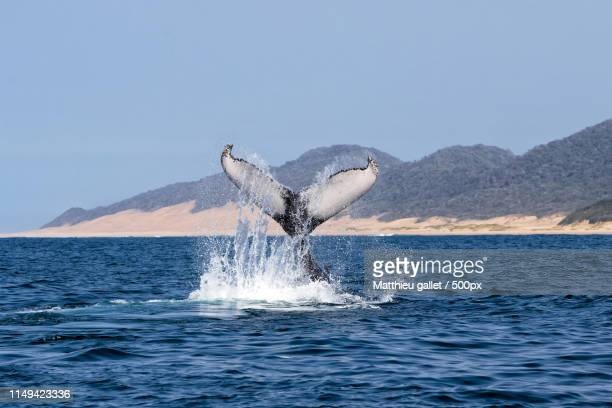 humpback whale south africa - sankta lucia 2015 stock photos and pictures