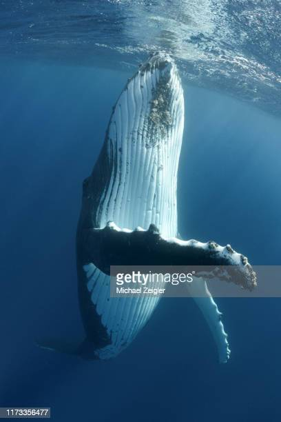 humpback whale spy hop - aquatic organism stock pictures, royalty-free photos & images