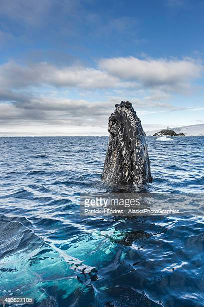 Humpback whale spyhops in Hope Bay, Antarctica