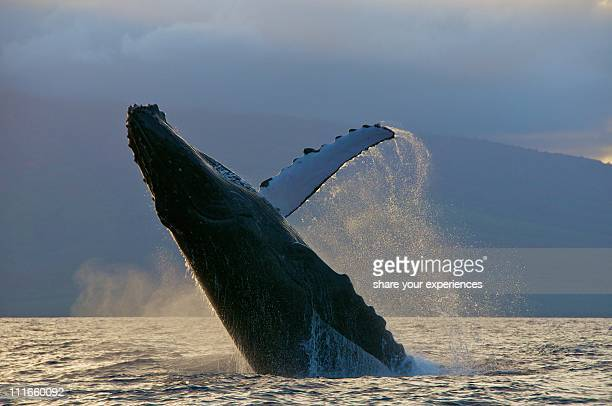 humpback whale sunset breach - lanai stock photos and pictures