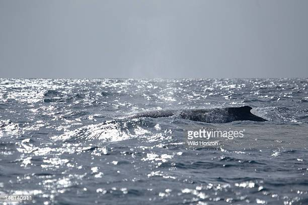 Humpback whale surfaces to breathe showing the small rounded dorsal fin on the back of this species Megaptera novaeangliae Silver Bank Humpback Whale...