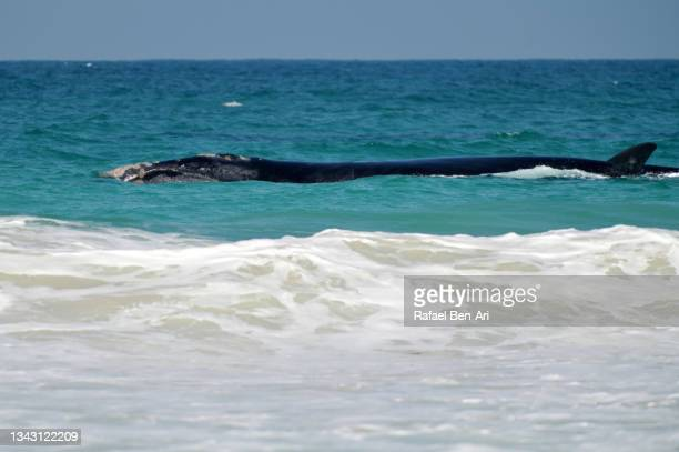 humpback whale swimming along the coast of perth western australia - rafael ben ari fotografías e imágenes de stock