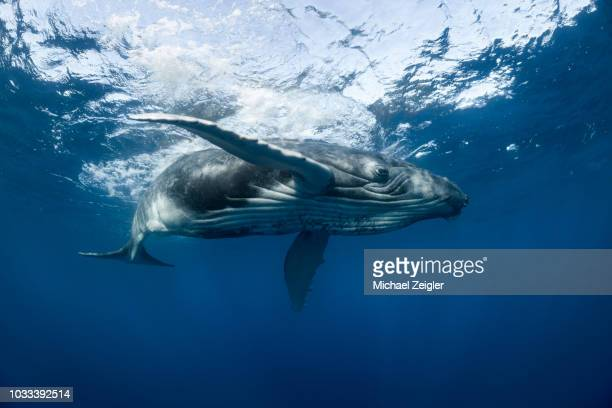 humpback whale swimming at the surface - polynesia stock pictures, royalty-free photos & images