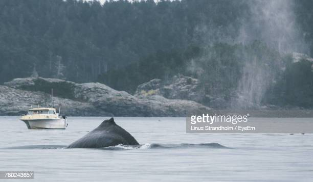 Humpback Whale Swimming In Sea Against Mountain
