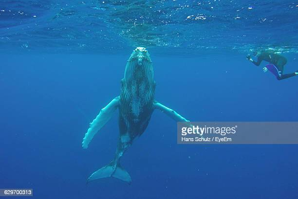 Humpback Whale Swimming Undersea