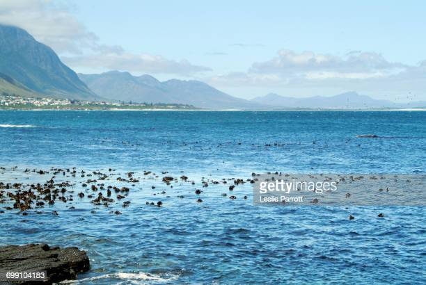 Humpback Whale Swims By The False Bay And The Coast Of Hermanus, South Africa