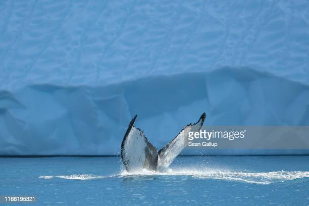 A humpback whale swims next to an iceberg in the Ilulissat Icefjord on August 04 2019 near Ilulissat Greenland The Sahara heat wave that recently...