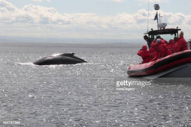 humpback whale, tadoussac, quebec, canada - river st lawrence stock pictures, royalty-free photos & images