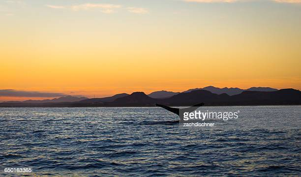 humpback whale tail at sunrise, baja california, mexico - sea of cortez stock pictures, royalty-free photos & images