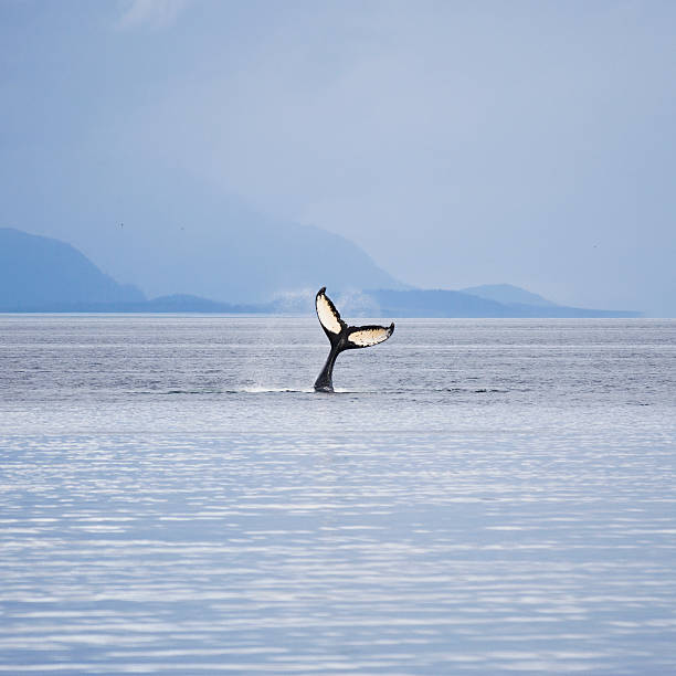Humpback whale (Megaptera novaeangliae) tail fluking