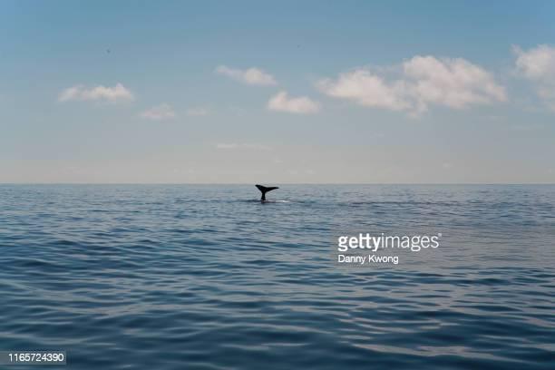 humpback whale tail - azores fotografías e imágenes de stock