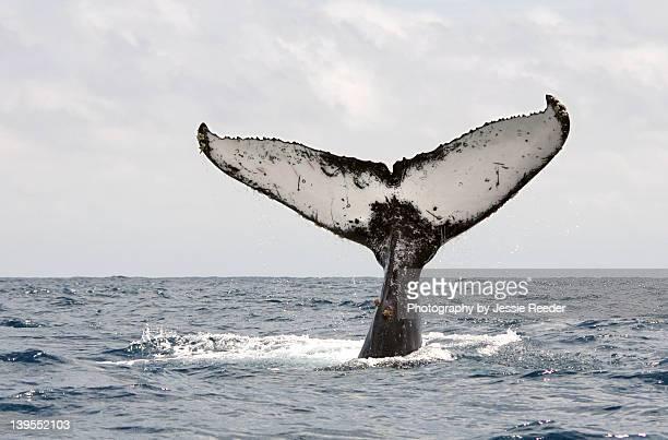 humpback whale tail - ecuador fotografías e imágenes de stock