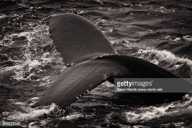 humpback whale tail - drake passage stock photos and pictures