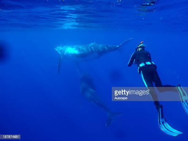 Humpback whale underwater being observed by snorkeller Niue Island Polynesia South Pacific