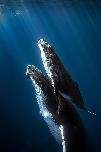 Humpback whales and calf. 502967006