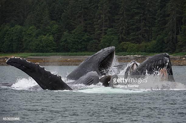 Humpback whales bubblenet feeding in False Bay Chatham Strait Chichagof Island Tongass National Forest Alaska USA