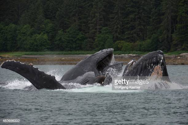 Humpback whales bubble-net feeding in False Bay, Chatham Strait, Chichagof Island, Tongass National Forest, Alaska, USA.