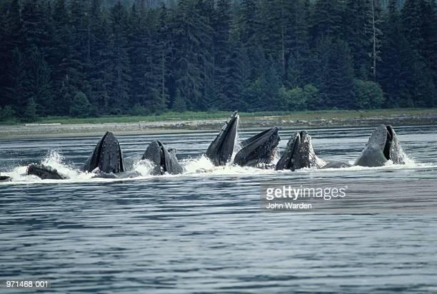 Humpback whales (Megaptera novaengliae) feeding, Alaska, USA
