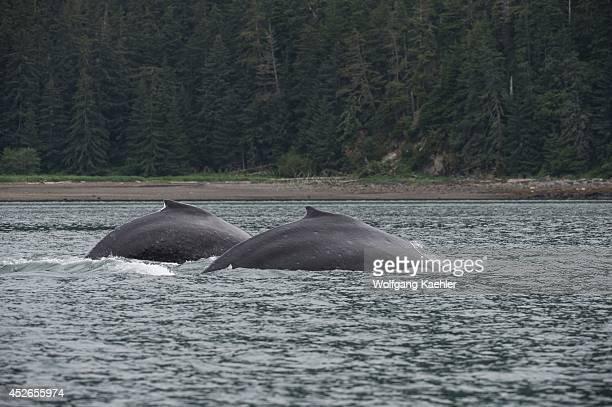 Humpback whales feeding in False Bay, Chatham Strait, Chichagof Island, Tongass National Forest, Alaska, USA.