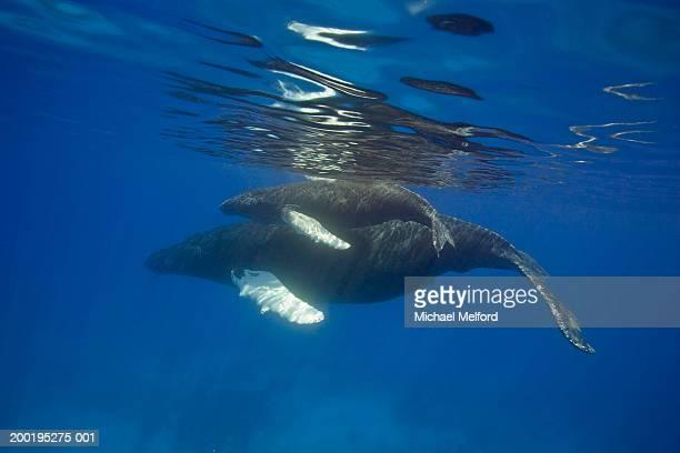 Humpback whales (Megaptera novaeangliae)
