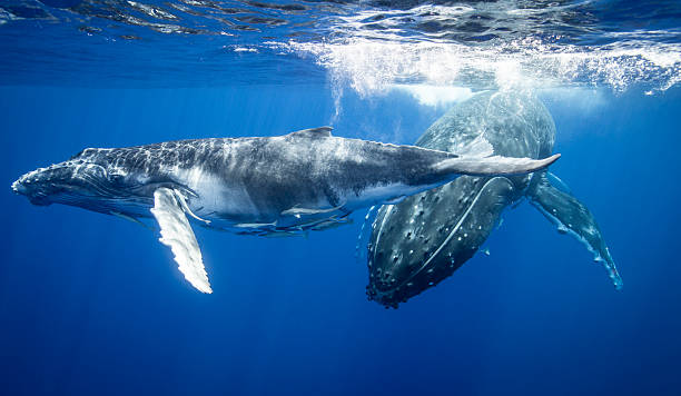 Humpback Whales Swimming Underwater Wall Art