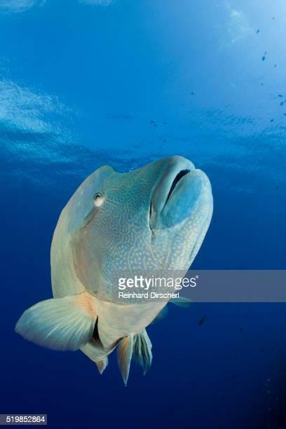 humpback wrasse (cheilinus undulatus), blue corner, micronesia, palau - メガネモチノウオ ストックフォトと画像