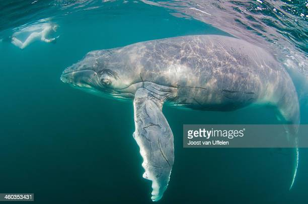 humpbackwhale - maputo city stock pictures, royalty-free photos & images