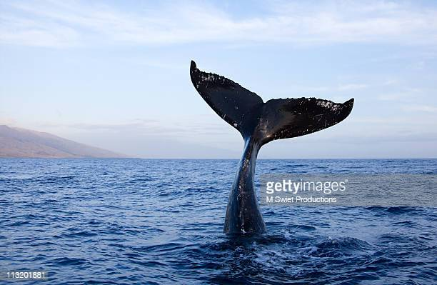 humpback-whale-tail - wal stock-fotos und bilder