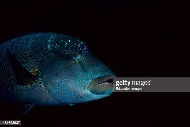 Hump-head wrasse, Cheilinus undulates, portrait found in the Red Sea and in the Indian Ocean, can be over two meters tall, lives on the edge of the...