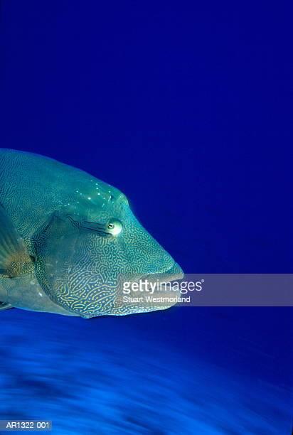 humphead wrasse (cheilinus undulatus), indian ocean, maldives - メガネモチノウオ ストックフォトと画像