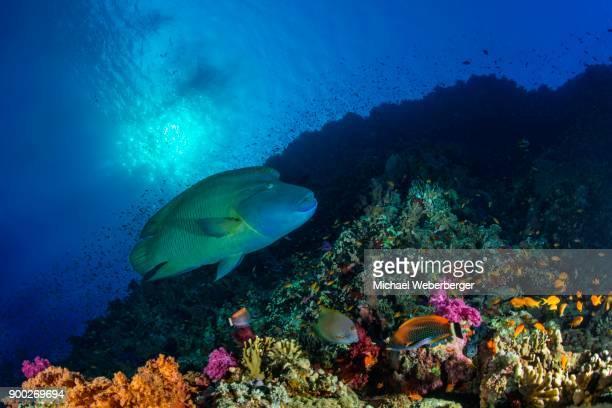 humphead wrasse (cheilinus undulatus) over reef, red sea, aegyten - メガネモチノウオ ストックフォトと画像