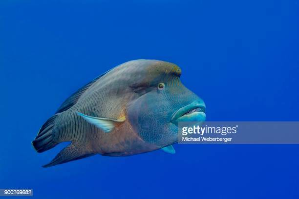 humphead wrasse (cheilinus undulatus), red sea, aegyten - メガネモチノウオ ストックフォトと画像