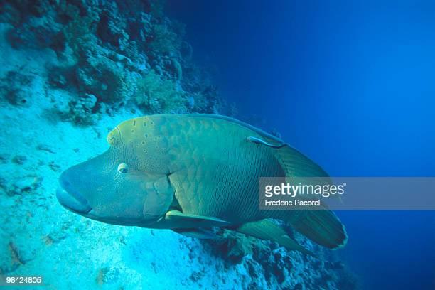 humpheah wrasse, napoleon fish, red sea, egypt - メガネモチノウオ ストックフォトと画像