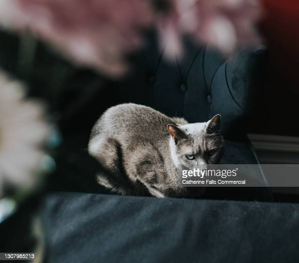 hunched grey cat on a comfortable chair, flowers in the foreground - purring stock pictures, royalty-free photos & images