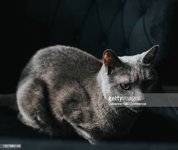hunched grey cat on a comfortable chair in shadows - purring stock pictures, royalty-free photos & images