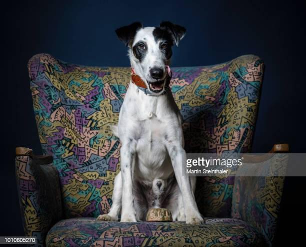 Hund Foxterrier sitzt auf einem bunten Sessel mit Hundekuchen