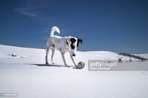 Hund Foxterrier spiel mit Ball im Schnee