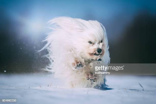 hund hat viel spaß im schnee - bichon maltais photos et images de collection