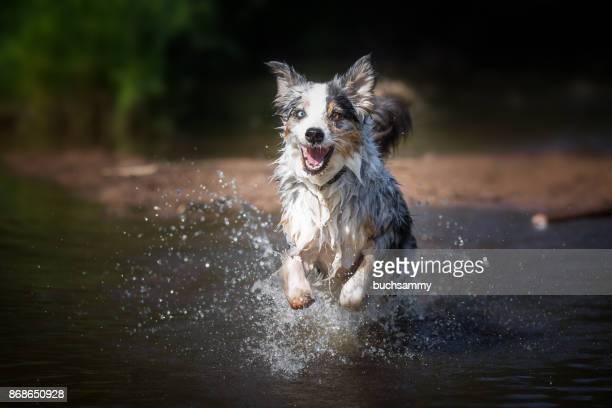 hund rennt durchs wasser - wasser imagens e fotografias de stock