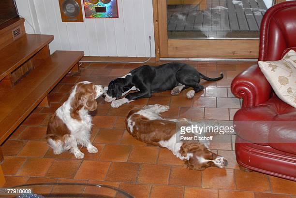 die WelshSpringerSpanielHündinnen Mimie Bianca dahinter Maximus Homestory Insel Nesoya Norwegen Europa Wohnzimmer Tier