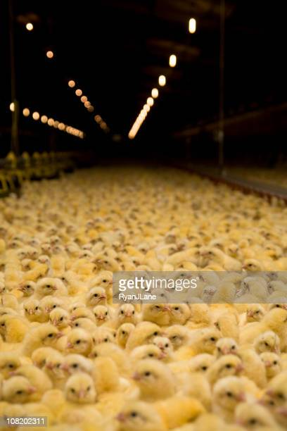 Hundreds of Baby Chicks at a Chicken Farm
