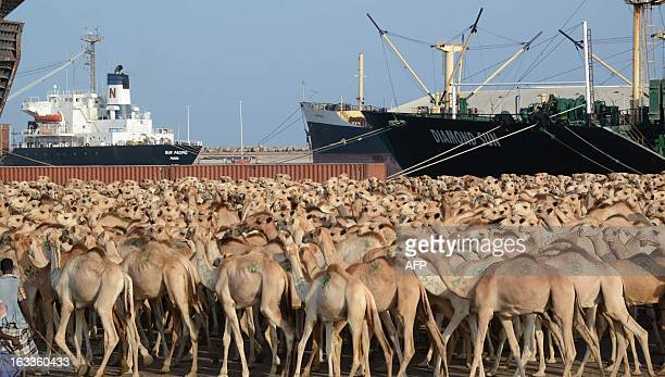 Hundreds of camels wait at Mogadishu's seaport to be exported to Saudi Arabia on March 8 2013 AFP PHOTO / Mohamed Abdiwahab