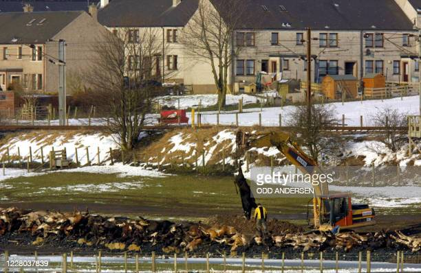 Hundreds of carcasses is placed on a bed of coal and straw to be incinerated on a field at Netherside farm in Lockerbie some 120 km south of Glasgow,...