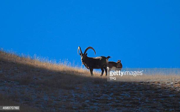 Hundreds of first class national protected animal wild ibex are finding foods at remote mountains on 01th November 2014 in Bortala Xinjiang China
