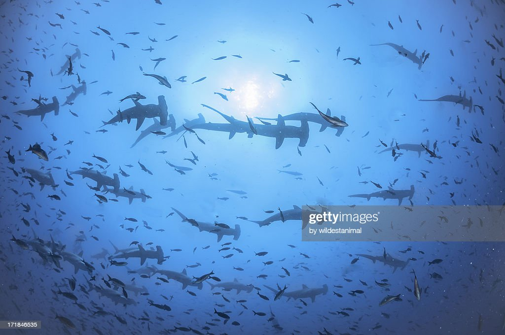 Hundreds of hammerheads : Stock Photo
