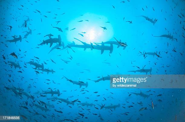 Hundreds of hammerheads